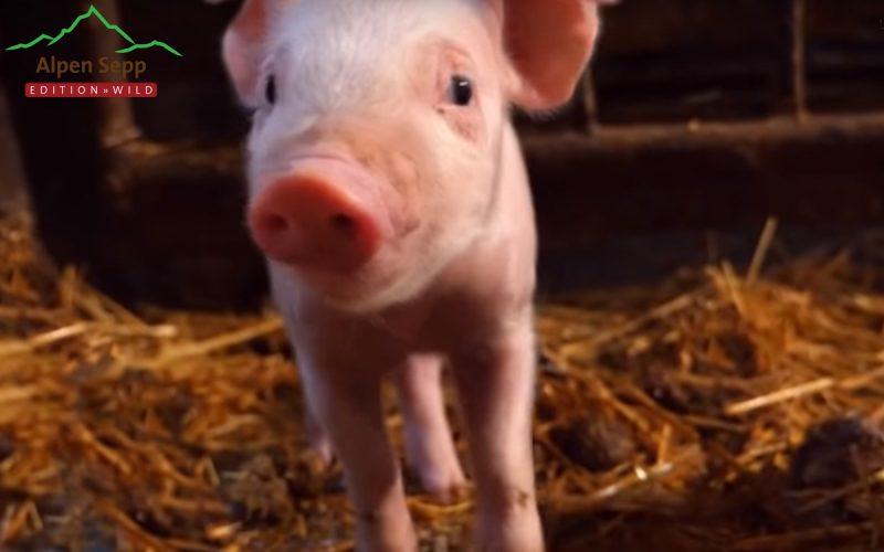 Schweinefleisch - warum muss es so billig sein?